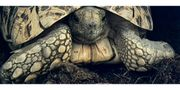 2x Pantherschildkröte stigmochelys pardalis babcocki