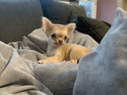 Chihuahua Mini-Prinzessin - ab sofort