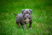 American Bully Pocket Welpen Blue