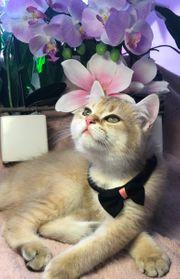 BKH Kitten Black Golden mit