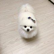 Weib Pomeranian