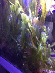 Caulerpa Alge für das Algenrefugium