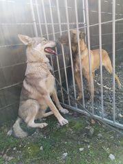 Tschechoslowakischer Wolfhund Wolfshund