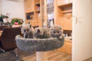 Scotische Fold BKH Kitten