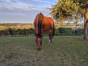 Suche erfahrene Pferdeperson - Pflegebeteiligung