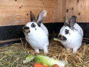 Schweizer Dreifarbenschecken Kaninchen Pärchen ca