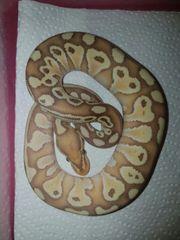 Königspython Banana Lesser