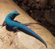 0 0 7 Lygodactylus williamsi -