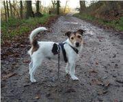 Jack-Russell-Terrier Barry sucht ein schönes
