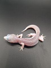 leopardgecko Babys aus liebevoller Hobbyzucht