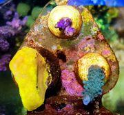 Meerwasseraquaristik - SPS Korallen Ableger - Acropora