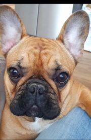 Französische bulldogge Jung mit FCI