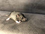 Süße Handzahme Ratten Babys