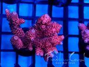 SPS ACROPORA Korallan Meerwasseraquarium REEF