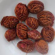Kerne vom einheimischen Weinbergpfirsich Samen