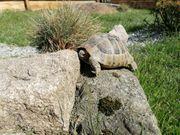 Griechische Landschildkröten Pärchen Schildkröte Landschildkröte