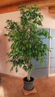 Schöner Benjamin Ficus Ficus benjamina
