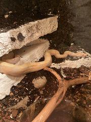 boa constrictor Albino 1 0