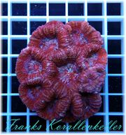 Korallen Korallenableger Meerwasser