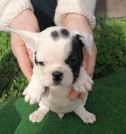 Beagle Frops Mischlinge Welpen
