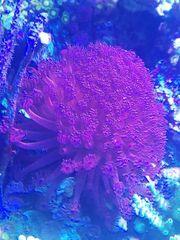 Meerwasser Korallen goniopora