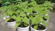 Kiribaum Blauglockenbaum Paulownia Tomentosa Kaiserbaum