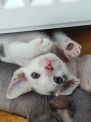 Letztes Sphynx Kitten sucht immer