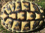 Griechische Landschildkröte weiblich 11 Jahre