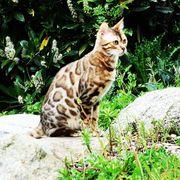 Bengal Kitten in snow brown
