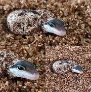 Leopardgecko Wildtyp Eier aus meiner