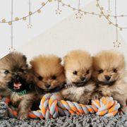Pomerania Boos zu verkaufen