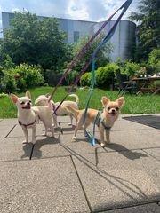 Chihuahua mit Ahnentafel
