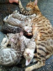 Bengal kitten silber