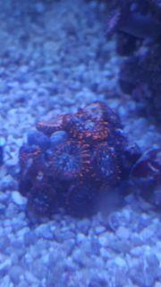 Korallen Euphyllia Zoas