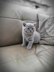 Britisch Kurzhaar Scotisch Fold Kätzchen