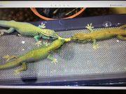 0 3 Lygodactylus williamsi Weibchen