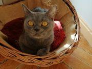 Bkh Katze abzugeben