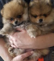Pomeranian Welpen whatsapp 015211447907