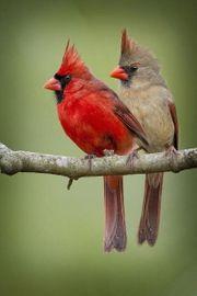 Rote Kardinäle