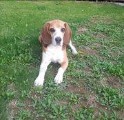 Beagle Rüde 8 Jahre