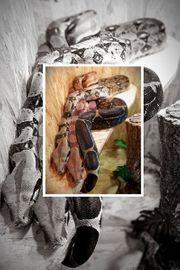 Boah Constrictor Pärchen mit Terra