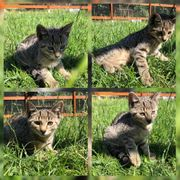 Wunderschöne Baby Katze Kitten Enny