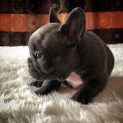 Traumhafte Französisch Bulldoggen Welpen