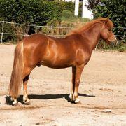 Islandpferd Wallach 4-Gänger Tölter Pony
