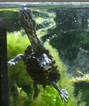 Rarität - Seltene Mccords Schlangenhalsschildkröten Chelodina