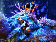 Nemos Anemonenfische Meerwasser