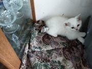 Silver shaded Kittenbabys