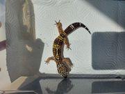 Leopardgecko - Eublepharis macularius - Black Night