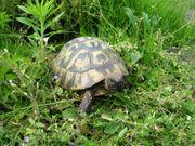 Griechische Landschildkröten Pärchen zu verkaufen