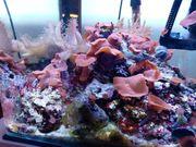 Meerwasseraquarium Unterschrank und Korallen